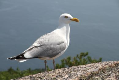 Mouette_Acadia