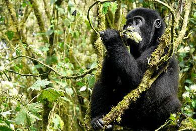 Gorille de montagne Ouganda